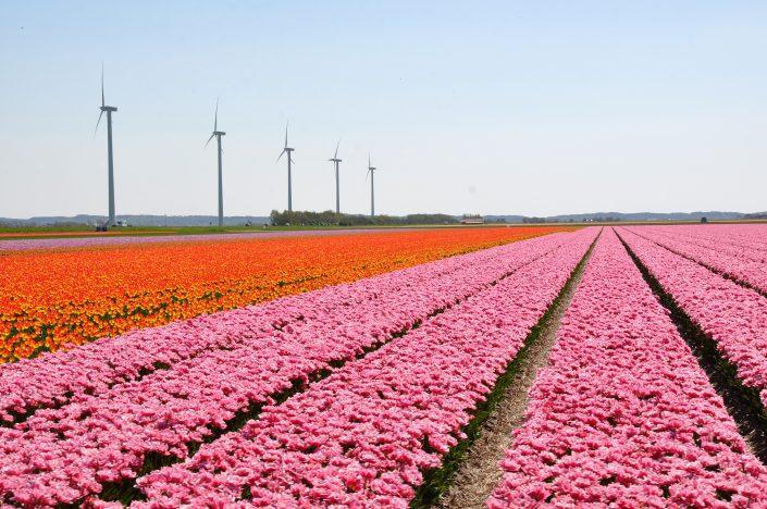 Tulpen velden Zijpe